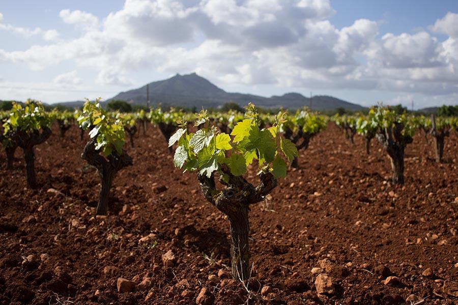 tierra con viñas